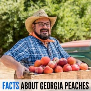 FACTS ABOUT GEORGIA PEACHES