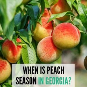 WHEN IS PEACH SEASON IN GEORGIA