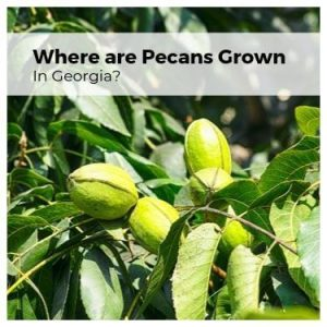 Where are Pecans Grown in Georgia