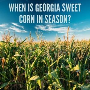 When is Georgia Sweet Corn in Season