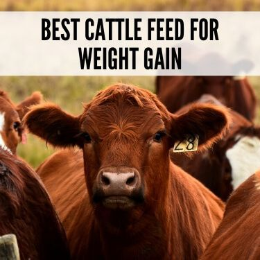 Best Cattle Feed for Weight Gain