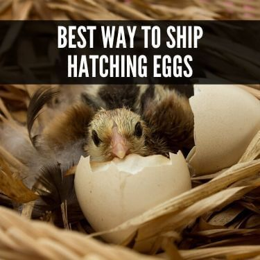 Best Way to Ship Hatching Eggs
