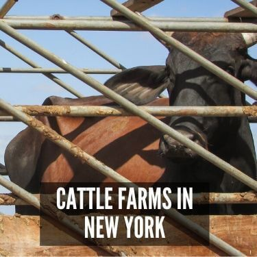 Cattle Farms in New York