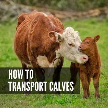 How to Transport Calves
