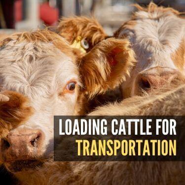 Loading Cattle for Transportation