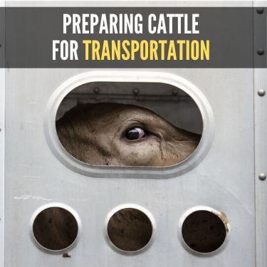 Preparing Cattle for Transportation