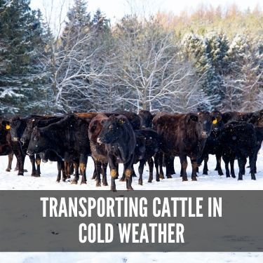 Transporting Cattle in Cold Weather