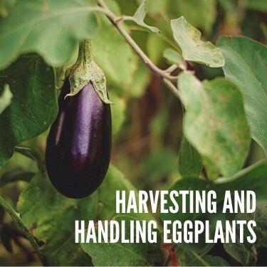 Harvesting and Handling Eggplants