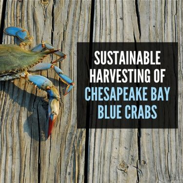 Sustainable Harvesting of Chesapeake Bay Blue Crabs