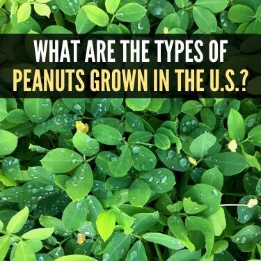 What are the Types of Peanuts Grown in the U.S.