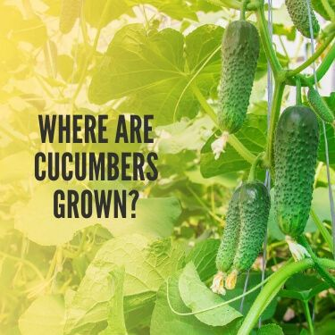 Where are Cucumbers Grown