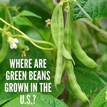 Where are Green Beans Grown in the U.S.