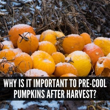 Why is it Important to Pre-Cool Pumpkins after Harvest