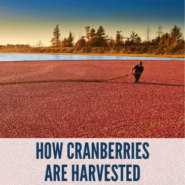 How Cranberries are Harvested
