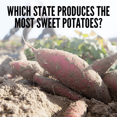 Which State Produces the Most Sweet Potatoes