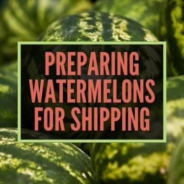 Preparing Watermelons For Shipping