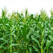Corn Truckload Shipping Freight from North Dakota